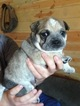 Australian Cattle Dog-Bulldog Mix Puppy For Sale in CASPER, WY