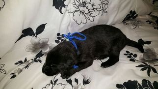 German Shepherd Dog Puppy For Sale in DIME BOX, TX