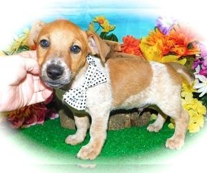 Mutt Puppy for sale in HAMMOND, IN, USA