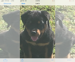 Rottweiler Puppy for Sale in HICKORY VALLEY, Tennessee USA