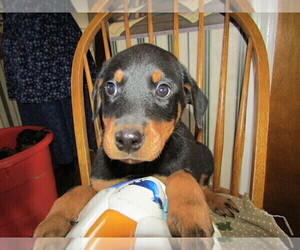 Rotterman Puppy for sale in DETROIT, MI, USA