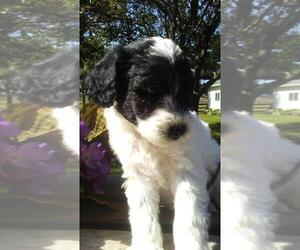 Goldendoodle Puppy for sale in BATTLE CREEK, MI, USA