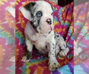 English Bulldogge Puppy for sale in WARRIOR, AL, USA