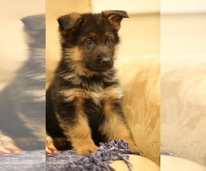 German Shepherd Dog Puppy for Sale in SEATTLE, Washington USA