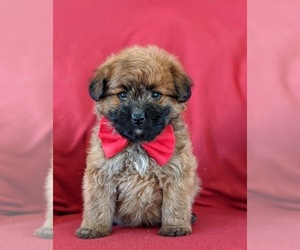 Pom-A-Poo Puppy for sale in OXFORD, PA, USA