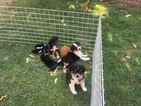Miniature Australian Shepherd Puppy For Sale in SUNOL, CA,