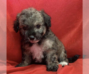 Maltese-Maltipoo Mix Puppy for sale in SAN FRANCISCO, CA, USA
