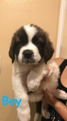 Saint Bernard Puppies and Dogs for Sale in USA
