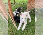 Two male Siberian Huskies 13 weeks old