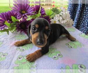 Dachshund Dog for Adoption in HUDSON, Michigan USA
