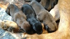 German Shepherd Dog Puppy For Sale in TOWNSEND, DE,
