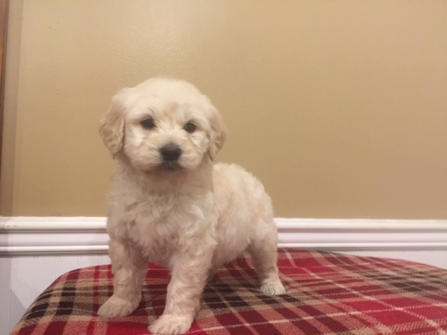 English Cream Golden Retriever-Poodle (Standard) Mix puppy