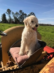 Poodle (Standard) Puppy For Sale in CORNING, CA