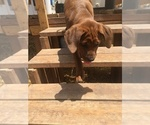 Small Photo #10 America Bandogge Mastiff-Mastiff Mix Puppy For Sale in FORT GARLAND, CO, USA