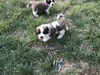 Saint Bernard Puppy For Sale in BENTON, KS, USA