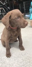 Chesapeake Bay Retriever Puppy for sale in PALMDALE, CA, USA