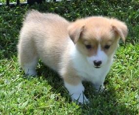 Cute Corgi Puppies For Sale