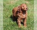 Small #4 Labradoodle-Poodle (Standard) Mix