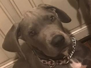 Great Dane Puppy For Sale in PLEASANTON, CA, USA