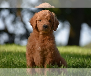 Goldendoodle Puppy for Sale in MILLERSBURG, Ohio USA