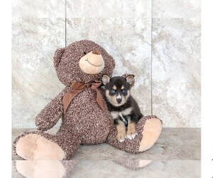 Pomsky Puppy for sale in CLEVELAND, NC, USA