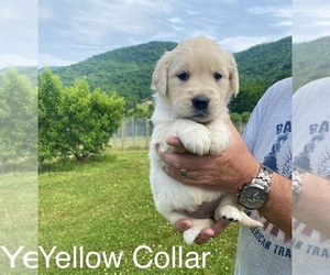 Golden Retriever Puppy for Sale in MOUNT AIRY, North Carolina USA