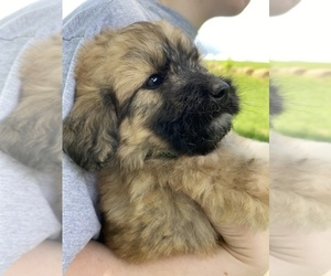 Pyredoodle Puppy for Sale in HARROGATE, Tennessee USA