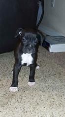 Boxer Puppy for sale in MILTON, FL, USA