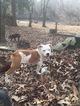 Olde English Bulldogge Puppy For Sale in HAWORTH, OK