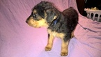 Airedale Terrier Puppy For Sale in WEST BADEN SPRINGS, IN
