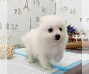 Japanese Spitz Puppy for sale in SAN JOSE, CA, USA