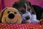 Small Photo #5 Beagle Puppy For Sale in REASNOR, IA, USA