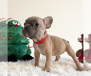 French Bulldog Puppy for Sale in HIALEAH, Florida USA