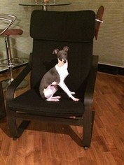 Italian Greyhound Puppy For Sale in CHICAGO, IL