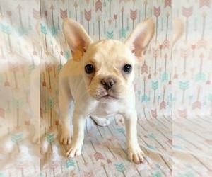French Bulldog Puppy for Sale in PORTLAND, Oregon USA