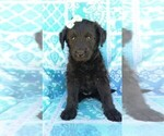 Small Photo #1 Labradoodle Puppy For Sale in EDEN, PA, USA