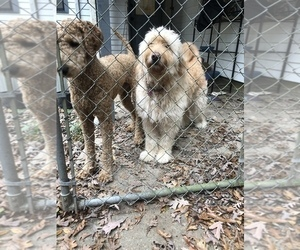 Father of the Goldendoodle puppies born on 12/26/2020