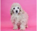 Puppy 12 Poodle (Miniature)