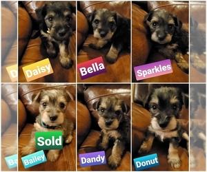 Miniature French Schnauzer-Silky Terrier Mix Puppy for sale in WATERLOO, IA, USA