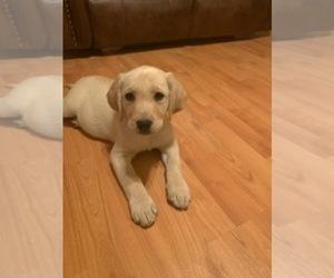 Labrador Retriever Dog for Adoption in HOLLISTER, California USA