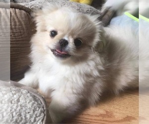Pekingese Puppy for sale in MESQUITE, TX, USA