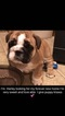 Puppy 0 English Bulldogge