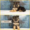 German Shepherd Dog Puppy For Sale in POTLATCH, ID, USA