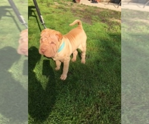 Chinese Shar-Pei Puppy for sale in ROMULUS, MI, USA