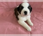 Puppy 1 Saint Bernard