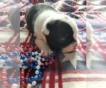 Small #4 Faux Frenchbo Bulldog