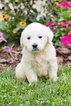 English Cream Golden Retriever  Puppy For Sale in NEW PITTSBURGH, OH, USA