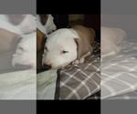 Puppy 7 American Staffordshire Terrier