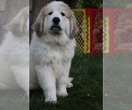 Puppy 5 Great Pyrenees