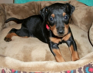 Manchester Terrier (Toy) Puppy For Sale in ROCK HILL, SC